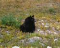 GENERIC BLACK BEAR